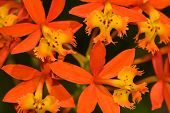 picture of crucifix  - A view of Crucifix orchid epidendrum radicans flowers
