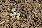 image of quail egg  - A Gambel - JPG