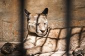 picture of zoo  - Puma lying in zoo cage in sunny day - JPG