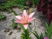picture of monocots  - Lily pink grows in nature blooms in summer - JPG