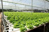 stock photo of cameron highland  - Hydroponic vegetables growing in greenhouse at Cameron Highlands - JPG