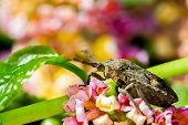 pic of shield-bug  - a cute shield bug on nature background