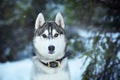 stock photo of husky  - beautiful  husky dog looking forward winter time - JPG