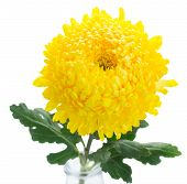 picture of mums  - yellow mum flower close up isolated on white background - JPG