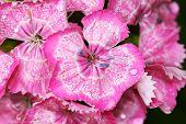 foto of carnation  - Dianthus barbatus - JPG