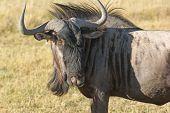 pic of wildebeest  - savanna scenery with wildebeest in Botswana Africa - JPG