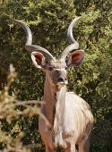 stock photo of antelope horn  - picture of a antelope seen in Botswana Africa - JPG