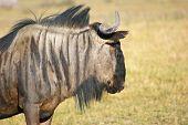 picture of wildebeest  - savanna scenery with wildebeest in Botswana Africa - JPG