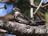 image of sun perch  - A Common Nighthawk perched on a branch in the sun - JPG