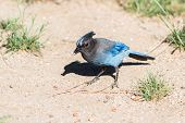 stock photo of blue jay  - close up of a steller - JPG