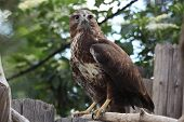 stock photo of buzzard  - Eurasian buzzard  - JPG