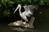 picture of catch fish  - Grey pelican  - JPG