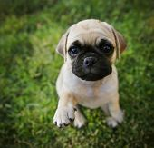 stock photo of pug  - a cute chihuahua pug mix puppy  - JPG
