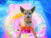 stock photo of chihuahua mix  - a cute chihuahua mix sitting in a blow up tube in a pool during summer  - JPG