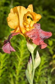 foto of rare flowers  - rare yellow and purple color iris flower on a natural green grass background - JPG