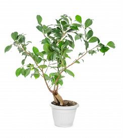 picture of ginseng  - Ficus ginseng in pot isolated on white background - JPG