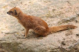 pic of meerkats  - Yellow mongoose  - JPG