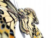 Butterfly (Spot Swordtail) Closeup