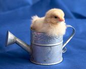 Baby Chick In Watering Can On Blue Background