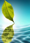 A healthy green leaf reflecting in the water.
