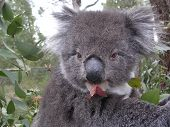 Koala Eatting