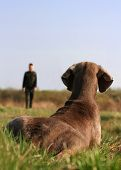 Weimaraner On Dog Training