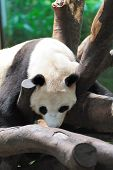 stock photo of panda bear  - A giant panda lying on the tree branch and sleeping - JPG