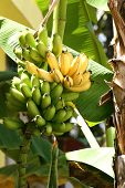 picture of banana tree  - Green and yellow bananas on tree with soft shadows of daylite - JPG