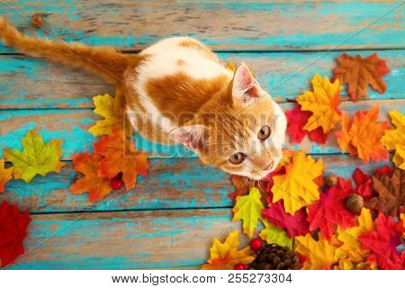 poster of Kitten Look Up And Sitting On Maple Leaves In Autumn.  Domestic Cute Cat In Fall.