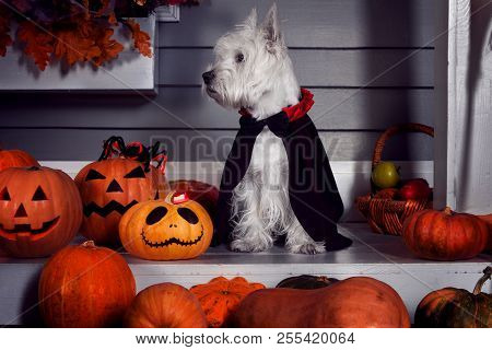 Funny West Highland White Terrier