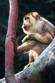 Makak Magot (macaca Sylvanus), Barbary Macaque, Zoological Garden, Troja District, Prague, Czech Rep poster