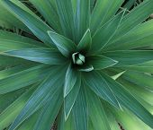 image of xeriscape  - A variety of yucca plant found in xeriscape gardens in the southwest - JPG