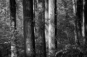 Schierlingstannen im Wald