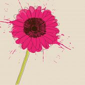 stock photo of daisy flower  - Pink Gerbera Daisy flower - JPG