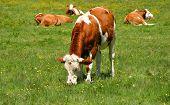 Feeding Cow