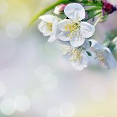 Natural background for design with a blossoming branch of a sweet cherry