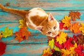 Kitten Look Up And Sitting On Maple Leaves In Autumn.  Domestic Cute Cat In Fall. poster