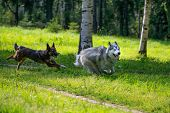 Dogs Play With Each Other. Siberian Husky. Merry Fuss. Aggressive Dog. Training Of Dogs. Education,  poster