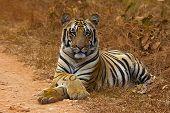 Tiger Panthera Tigris Tigris- Jaichand, Umred-karhandla Wildlife Sanctuary, Maharashtra, India poster