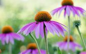 Echinacea Purple. A Perennial Plant Of The Asteraceae Family. Medicinal Flower To Enhance Immunity.  poster