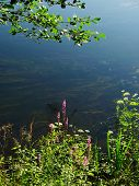 picture of sand lilies  - meadow flowers grow on riverside blue sky reflection - JPG