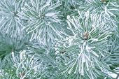 Pine trees covered with frost. Pine needles in snow. Cloudy frosty day.Spruce branches in the snow. poster