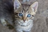 Gray Kitten With Blue Eyes, Gray Striped Kitten. Striped Kitten With Blue Eyes. Small Predator. poster