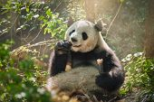 Chinese tourist symbol and attraction - giant panda bear eating bamboo. Chengdu, Sichuan, China poster