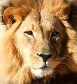 Close Up Of Lion