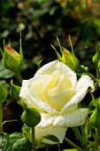 a white rose blooming in the garden on a rosebush.