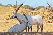 Un rebaño de cabras salvajes blancos Orix árabe en un día soleado de verano