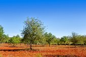 Agriculture in Ibiza island mixed fig trees almond and carob tree