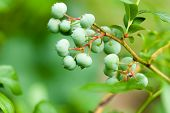 green whortleberries on the bush