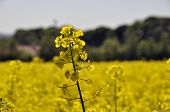 Closeup of rape seed flower in field of rape crop